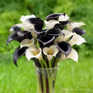 Night Cap and Crystal Clear Calla Lilies_photo credit Longfield Gardens