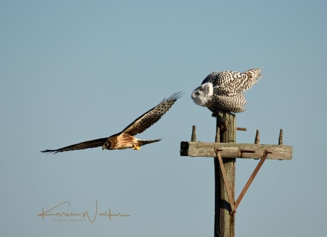 harrier flyby Owl
